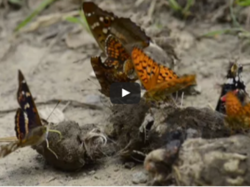 Butterflies on wolf faeces