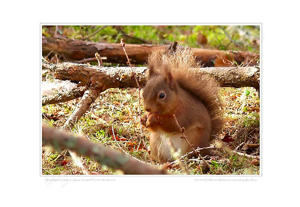 Red Squirrel in Scatwell Forest