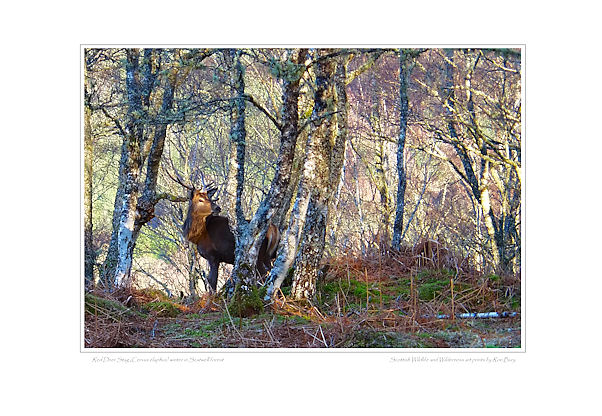 Red Deer Stag in Birch Woodland