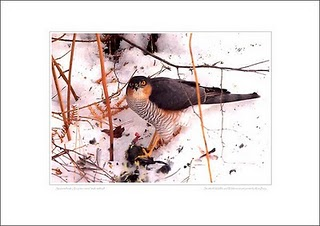 Male Sparrowhawk at kill