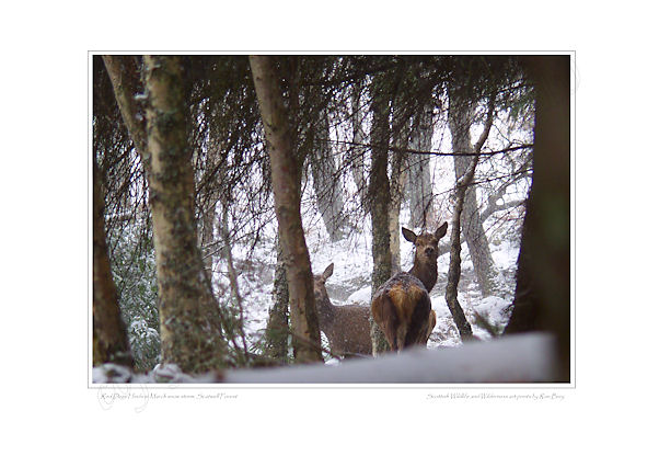 Red Deer Hinds in snow