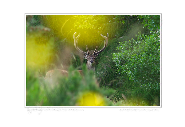 Red Deer Stag with antlers in velvet