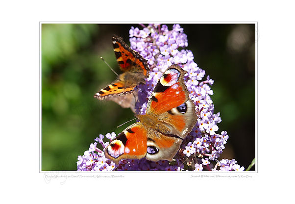 Peacock and Small Tortoiseshell Butterflies